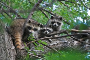Raccoon Control and Removal