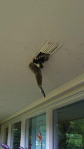 Racoon hanging from roof soffit