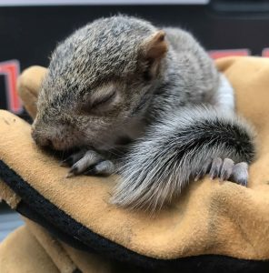 critter-control-houston-exclusion-baby-squirrel